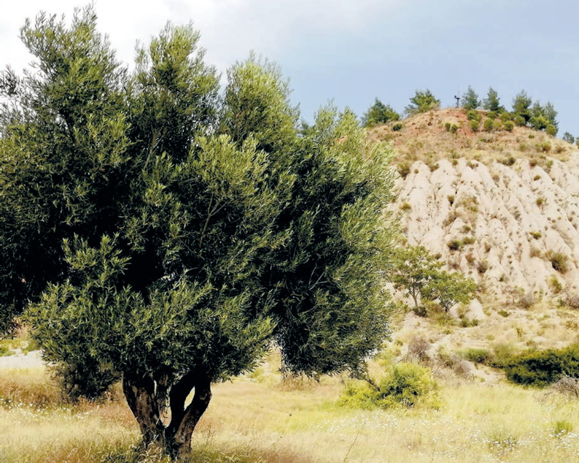 Olive trees cultivation in Grecian Magnesite Yerakini mines & works