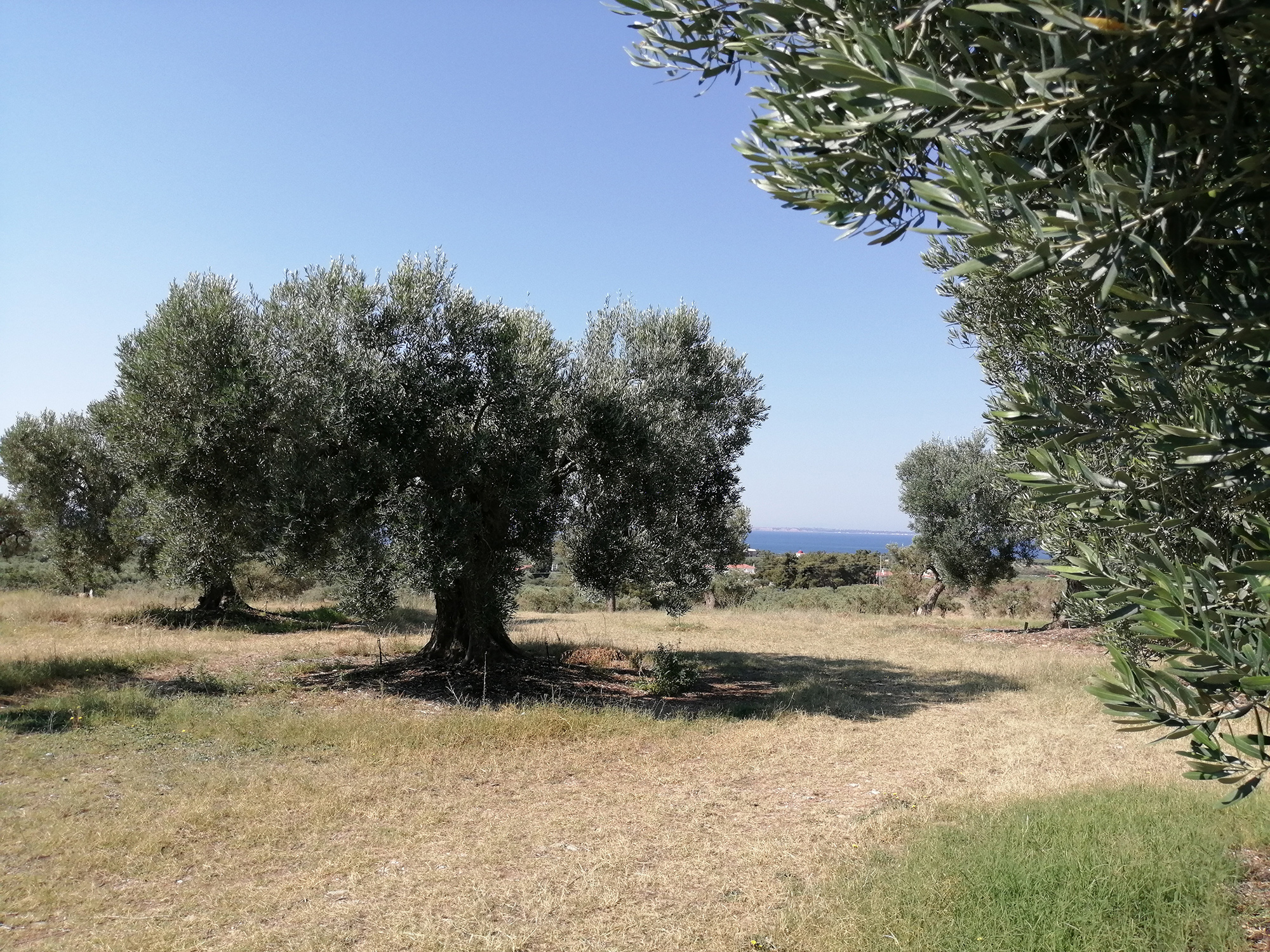 Olive tree at Yerakini Mines